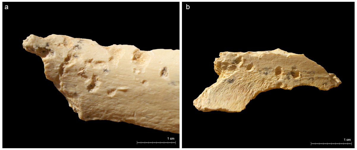 Marcas de dientes de carnívoros en forma de depresiones sobre restos óseos del subnivel XVIIc: a) depresiones sobre una diáfisis de hueso largo atribuido a la talla media; b) depresiones sobre un fragmento vertebral atribuido a talla media (Blasco, 2011).