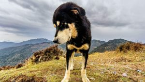 60603W_Dogs