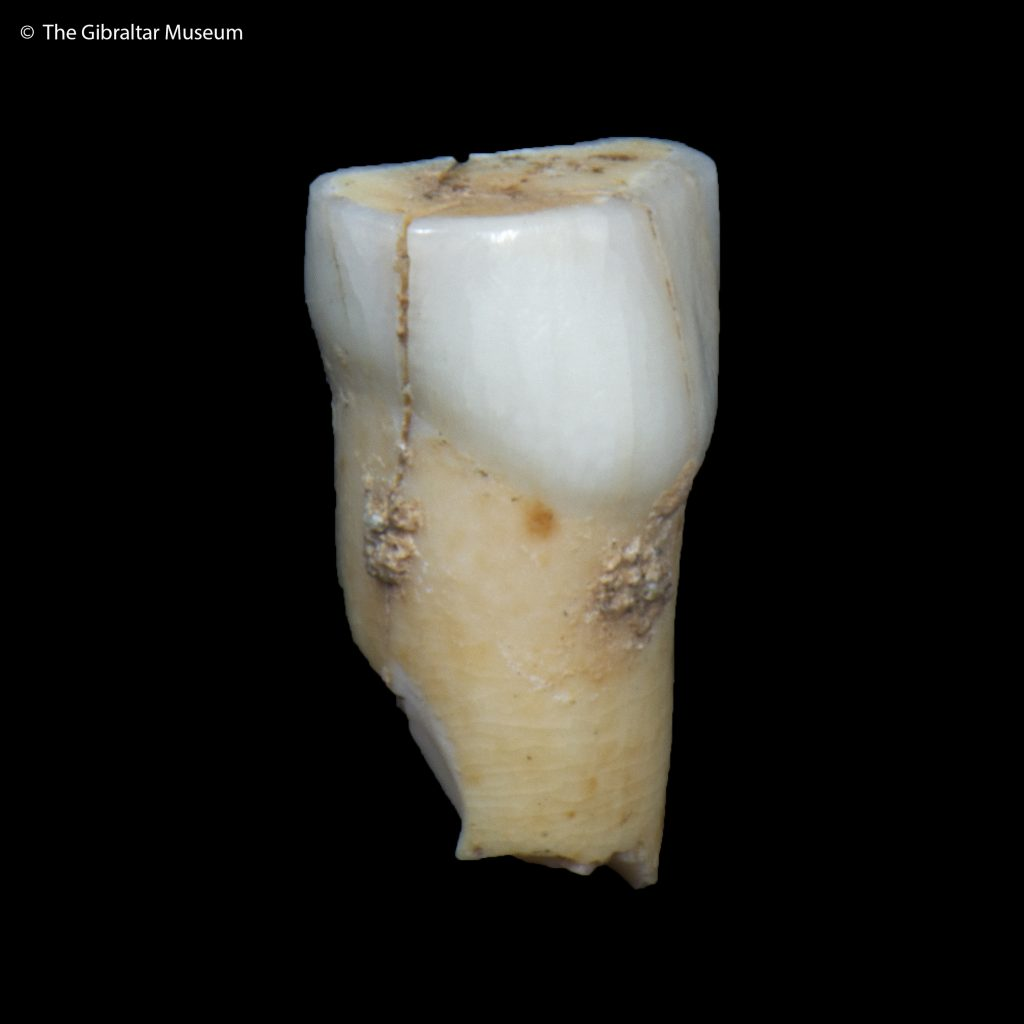 Gibraltar neanderthal teeth